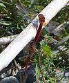 Broad Scarlets mating. Crocothemis erythraea. - Flickr - gailhampshire.jpg