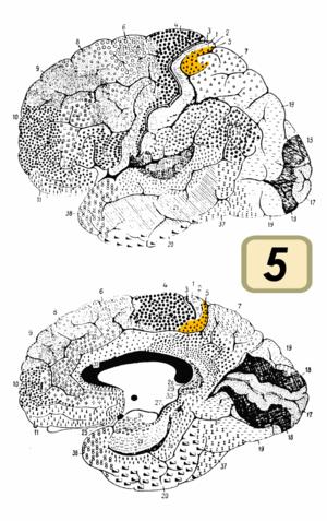 Brodmann area 5 - Image of brain with Brodmann area 5 shown in orange