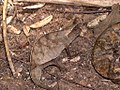 Brookesia superciliaris - Flickr - gailhampshire.jpg