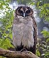Brown Wood or Asian Owl (31500017242).jpg
