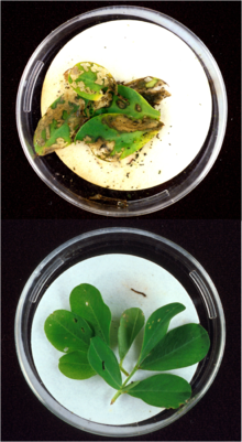 Top: Lesser cornstalk borer larvae extensively damaged the leaves of this unprotected peanut plant. (Image Number K8664-2)-Photo by Herb Pilcher. Bottom: After only a few bites of peanut leaves of this genetically engineered plant (containing the genes of the Bacillus thuringiensis (Bt) bacteria), this lesser cornstalk borer larva crawled off the leaf and died. (Image Number K8664-1)-Photo by Herb Pilcher.