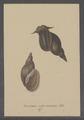 Buccinum roseo-labiatum - - Print - Iconographia Zoologica - Special Collections University of Amsterdam - UBAINV0274 085 06 0014.tif