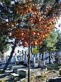 Bucuresti, Romania. Cimitirul Bellu Catolic. Stejar in lumina soarelui de toamna. Nov.2019.jpg