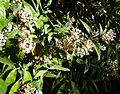 Buddleja auriculata, b, Jan Celliers Park.jpg