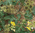Buffalo berry prickly-fruits prickly-stems.jpg