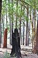 Burnt tree stump Awifo-easternghats-tour-2009.jpg