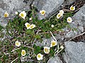 Burren Flora 22 Mountain Avens (3586181270).jpg