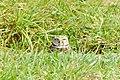 Burrowing Owls (5), NPS Photo (9101537722).jpg