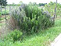 Busch Rosmarinus officinalis.JPG