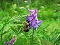 Busy Bumble Bee (4851977246).jpg