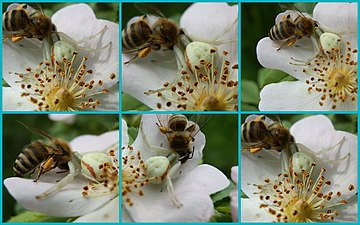 Busy bee as a spider's meal.jpg