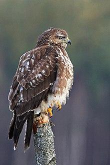 Common buzzard - Simple English Wikipedia, the free