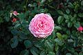 CBG pink rose 0122.jpg