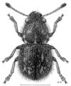 COLE Anthribidae Dasyanthribus purpureus f.png