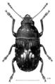 COLE Anthribidae Notochoragus crassus m.png