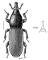 COLE Curculionidae Mesites pallidipennis m.png