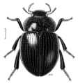 COLE Hydrophilidae Cylomissus.png