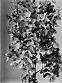 COLLECTIE TROPENMUSEUM Kersenbloesem uit Java TMnr 60020189.jpg