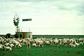 CSIRO ScienceImage 2960 Sheep in a Paddock.jpg
