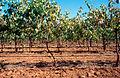 CSIRO ScienceImage 4206 Drip irrigation vineyard near Angle Vale SA 2003.jpg