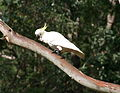 Cacatua galerita in the Blue Mountains-8.jpg