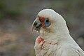 Cacatua tenuirostris -Sydney-8a.jpg