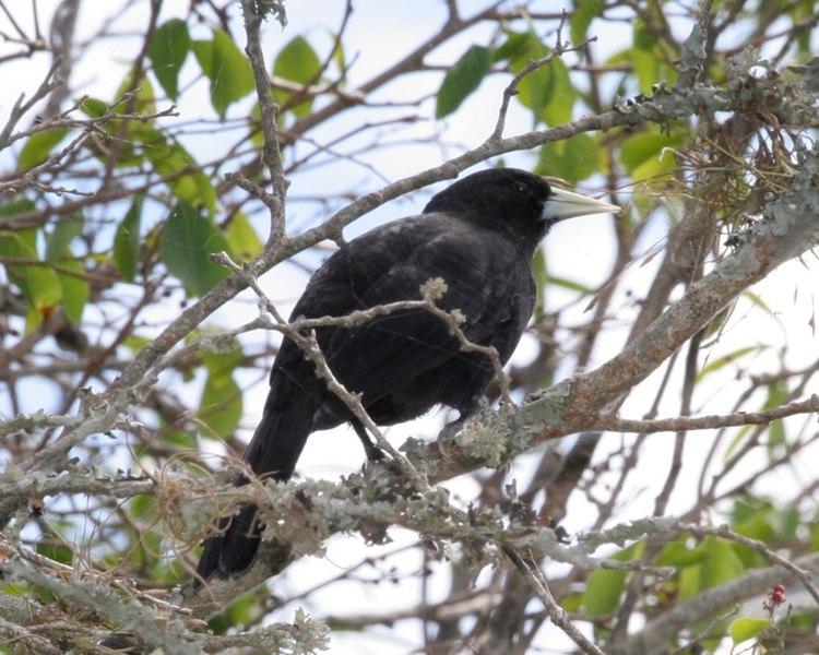 Ficheiro:Cacicus solitarius -Argentina-8.jpg