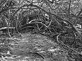 Cahuita tree 3.jpg