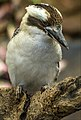Cairns Kookaburra on the lookout-1 (15386609643).jpg