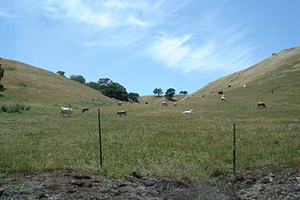 Calaveras Reservoir - Livestock along Calaveras Road, May 2006
