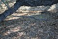 California kingsnake at Ash Meadows NWR (8122437361).jpg