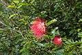 Calliandra haematocephala 0200.jpg