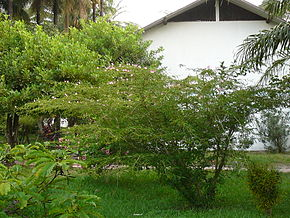 Description de l'image Calliandra surinamensis 0007.jpg.