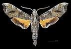 Callionima calliomenae MHNT CUT 2010 0 156 El Guapo Venezuela male dorsal.jpg