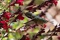 Calliope Hummingbird (male without half tail) Paton's Patagonia AZ 2017-05-17 08-59-13 (34377125300).jpg