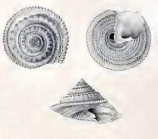 <i>Calliotropis limbifera</i> species of mollusc