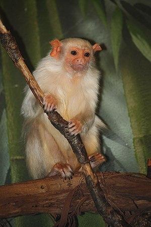 Silvery marmoset - Silvery Marmoset at the Bronx Zoo, New York City.