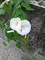 Calystegia sepium-20140703 120326.jpg