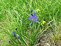 Camassia quamash (Common Blue Camas) - Flickr - brewbooks.jpg