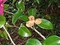 Camellia sasanqua 'Kanjiro' Thunb. (AM AK312702-3).jpg