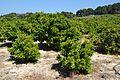 Camp de tarongers per Torrecarrals, Dénia.jpg