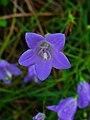Campanula rotundifolia 002.JPG