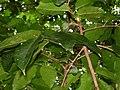 Canarium harveyi, leaves, fruits.jpg
