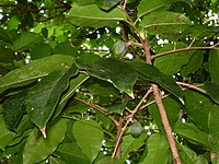 Canarium harveyi, leaves, fruits