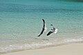 Caneel Bay Seagulls By Caneel Beach 03.jpg