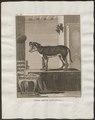 Canis lupus familiaris - 1700-1880 - Print - Iconographia Zoologica - Special Collections University of Amsterdam - UBA01 IZ22200005.tif