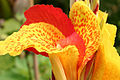 Canna Flower At RHS Wisley Garden Surrey UK.jpg
