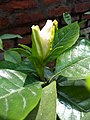 Cape Jasmine flower.jpg