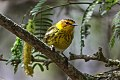 Cape May Warbler (Setophaga tigrina) (8082774189).jpg