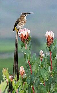 Cape Sugarbird (Promerops cafer).jpg